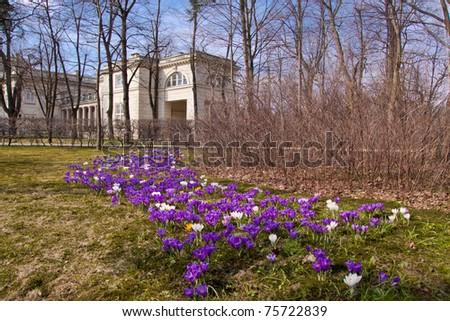 Bunch of violet crocuses in Warsaw Lazienki park - stock photo