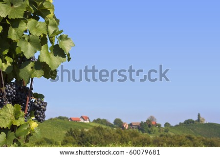 Bunch of violet grapes with vineyard in the background - stock photo