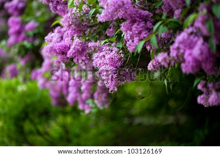 bunch of violet lilac flower (shallow DOF) - stock photo