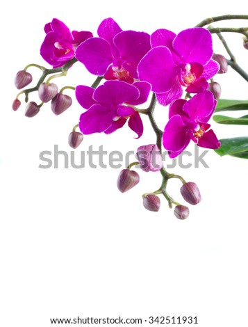 Bunch of violet orchids close up isolated on white background