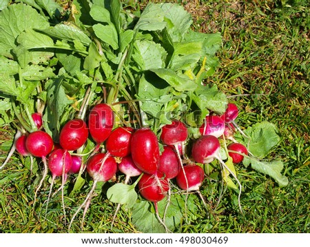 Bunch of washed red radish outdoor on green grass.