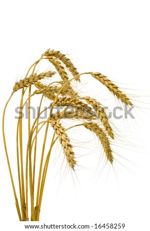 Bunch of wheat spikes, isolated, on white background - stock photo