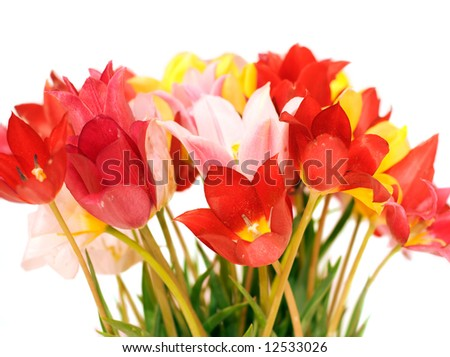 Bunch of wild tulips isolated on white background