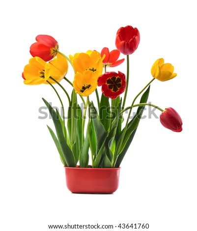 bunch of yellow  and red tulips  in red pot on white