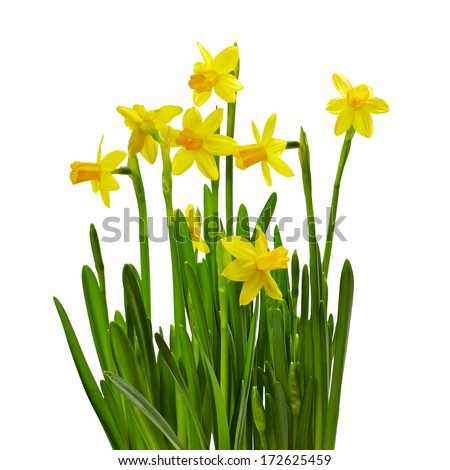 bunch of yellow daffodils isolated on white background - stock photo