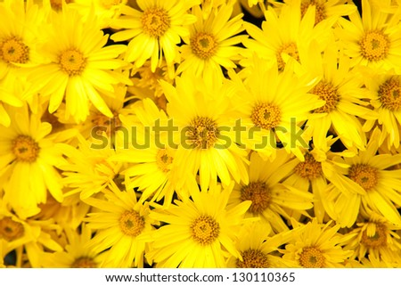 Bunch of Yellow Daisies - stock photo
