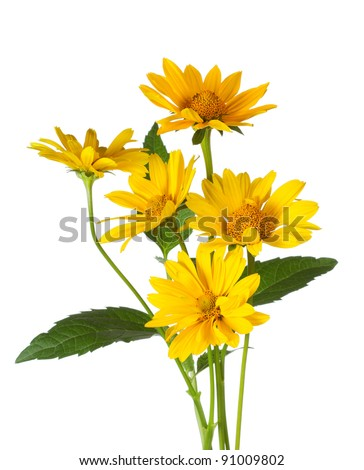 bunch of yellow daisy flowers on white background - stock photo