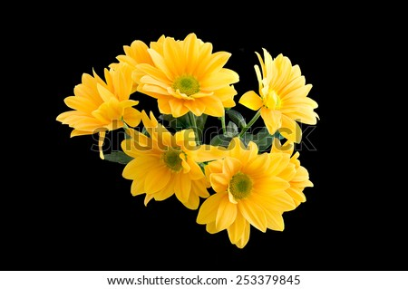 Bunch of Yellow Gerber Daisy's. Isolated on a black background - stock photo