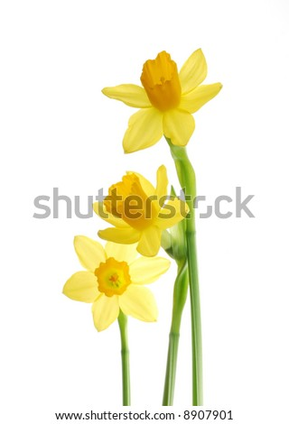 Bunch of yellow spring daffodils against white background