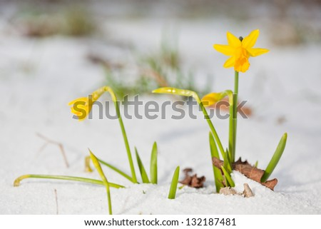 Bunch of yellow spring daffodils growing through the snow outdoors - stock photo