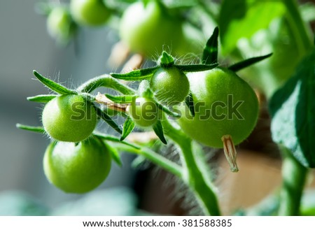 Bunch of young green tomato  close-up on daylight    - stock photo