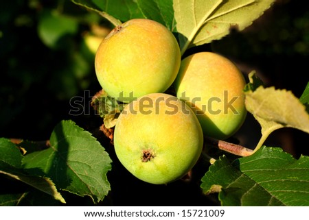 bunch with three apples on branch