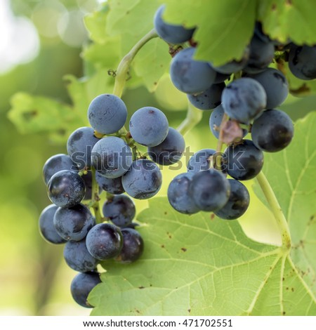 Bunche of blue grapes, outdoor photo