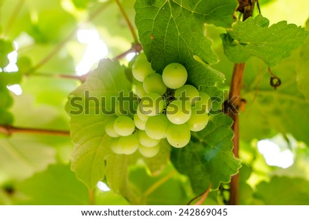 bunches grapes sweet hang from a vine - stock photo