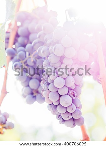 Bunches of black grapes in the sunshine before being collected - stock photo