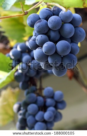 Bunches of black grapes on vine. - stock photo