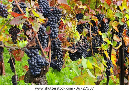 Bunches of black grapes ripening on a vine in Switzerland with leaves just turning brown. Space for text on greenery at base of image. - stock photo