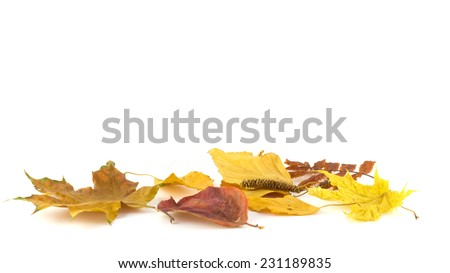 Bunches of black mountain ash on a background of autumn leaves on a white background - stock photo