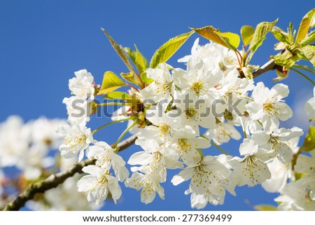 Bunches of cherry blossom. Blossoms blooming against a vivid blue sky. - stock photo