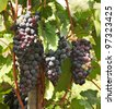 bunches of grapes - stock photo