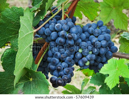 Bunches of grapes. - stock photo