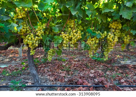 Bunches of grapes at a vineyard  - stock photo