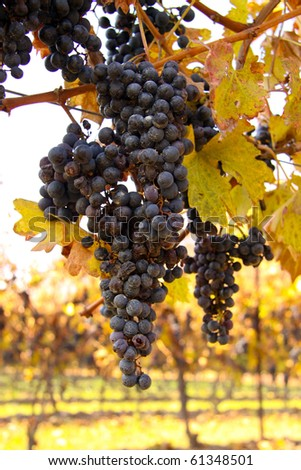 Bunches of grapes in a winery in the Niagara region of Ontario, Canada.