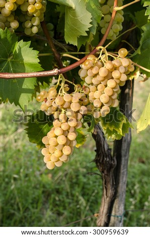 bunches of grapes in the vineyard in Italy - stock photo