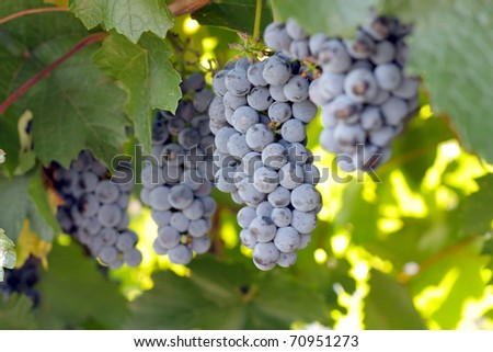 Bunches of grapes. Shallow DOF. - stock photo