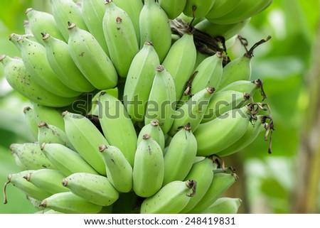 Bunches of green bananas close up. - stock photo