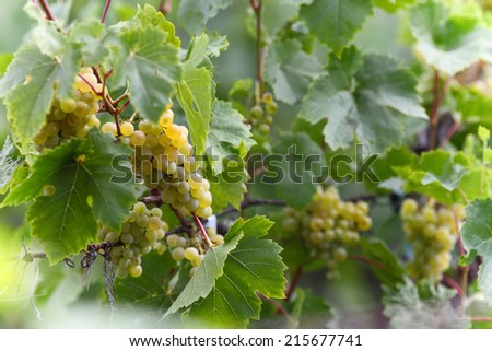 Bunches of green grapes on vine at summer day. - stock photo