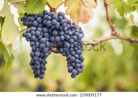 Bunches of Pinot Noir wine grapes on the vine