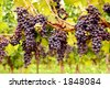 Bunches of red grapes growing on a vine - stock photo