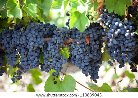 Bunches of ripe grapes hanging on the vine