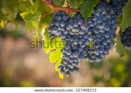 Bunches of ripe red wine grapes on vine - stock photo