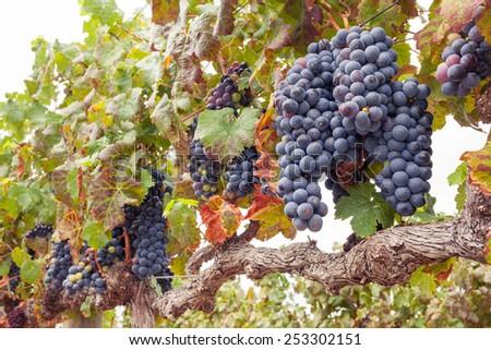 Bunches of Shiraz grapes on vine - stock photo