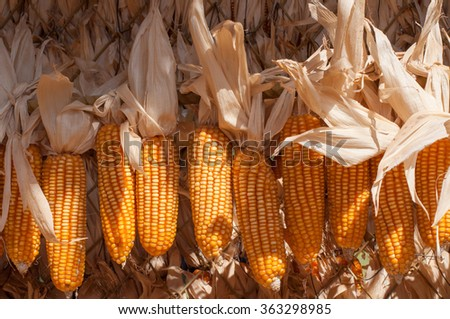 bunches of vivid organic natural dried uncooked ripe golden yellow corns on wooden stick - stock photo