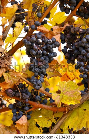 Bunches of wine grapes ready for harvesting in the Niagara region of Ontario, Canada. - stock photo