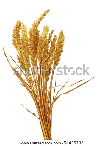 Bundle of beardless wheat isolated on white