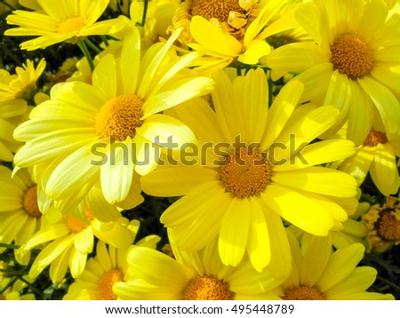 bundle of beautiful yellow flowers smiling in the afternoon sun