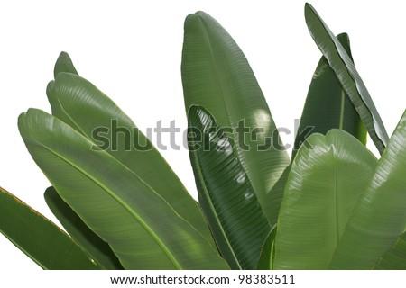 Bundle of fresh banana leaves isolated on white - stock photo