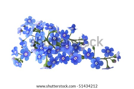 Bundle of fresh blue forget me not flower - stock photo