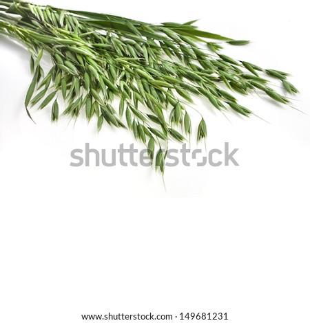 bundle of fresh oat plant  close up isolated on white background - stock photo