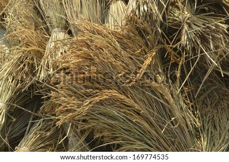 Bundle of harvested rice paddy on the ground - stock photo