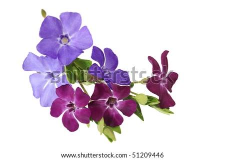 Bundle of myrtle periwinkle flowers isolated on white - stock photo