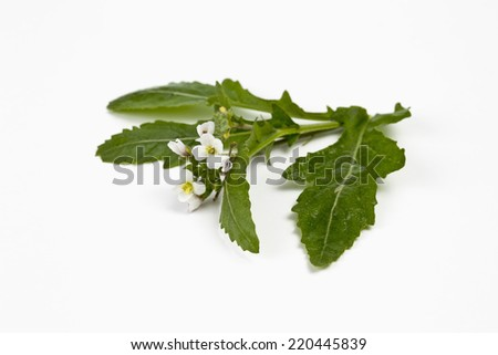 Bundle of white wall-rocket on white background