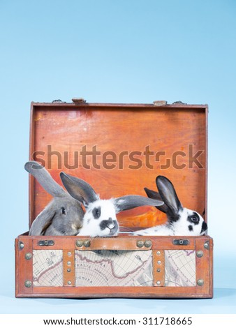 Bunnies in a suitcase. Image taken indoor with a light blue background.  - stock photo