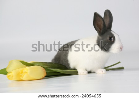 Bunny and Yellow Tulips 2 - stock photo