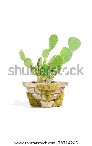 Bunny Ears Cactus (Opuntia Microdasys) in Pot Isolated on White Background - stock photo