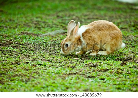 Bunny eating grass. - stock photo